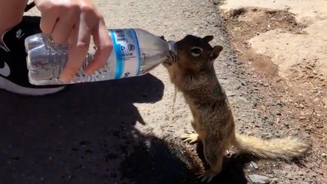 Spragniona wiewiórka pije wodę z butelki