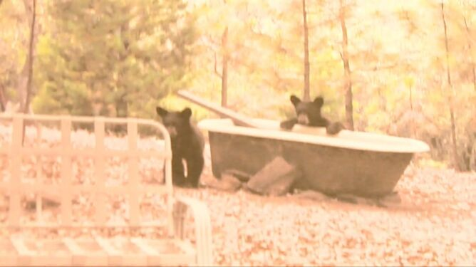 """Trzy osierocone niedźwiadki. """"Nie chcemy, aby młode zostały oswojone przez ludzi"""""""