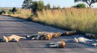 Lwy na drodze w RPA (Richard Sowry Section Ranger Kingfischerspruit Kruger National Parks)