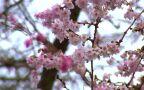 W Szczecinie zakwitła wiśnia japońska